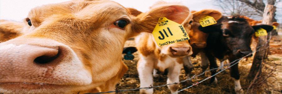 Nytt år ny hållbar du cow kor